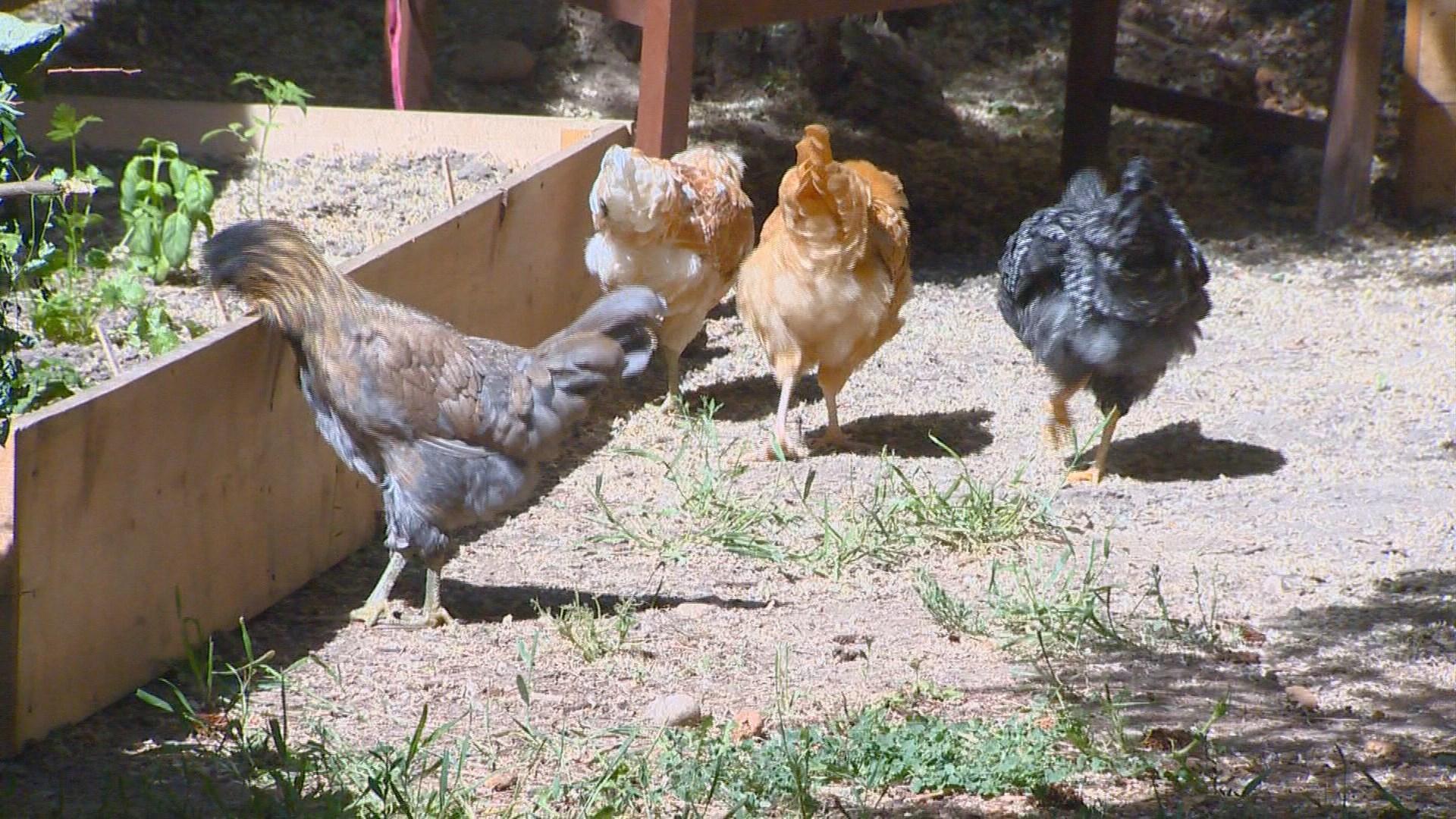you can grow it raising backyard chickens ktvb com